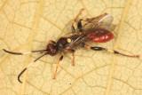 Cratichneumon paratus (female)