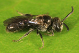 Sphecodes solonis (male)