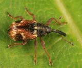 Strawberry clipper - Anthonomus signatus
