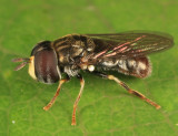 Syrphid Flies - tribe Paragini
