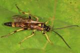 Ichneumon annulatorius