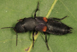 Red-spotted Rove Beetle - Platydracus fossator