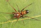 Micaria longipes