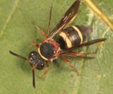 Epeolus bifasciatus