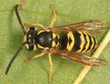Eastern Yellowjacket - Vespula maculifrons
