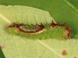 9211 - Triton Dagger Moth - Acronicta tritona