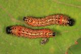 8010 - Red-humped Caterpillars - Schizura concinna
