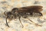 Pseudomethoca sp. (male)