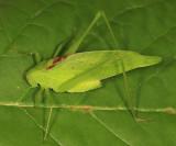 Amblycorypha oblongifolia (male)