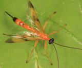 Ichneumon Wasps - Pimplinae