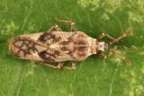 Fringetree Lace Bug - Leptoypha mutica