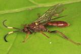 Cratichneumon pteridis