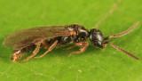 Pseudisobrachium sp. (male)