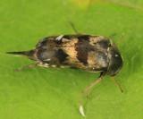 Paramordellaria triloba