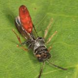 Aphid Wasp - Psenini