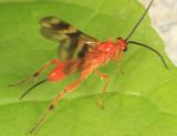 Braconid Wasps - subfamily Agathidinae