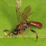 Cratichneumon vescus