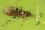 Cratichneumon vinnulus