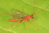 Ichneumon Wasps - Ctenopelmatinae