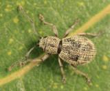 Calomycterus setarius