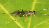 Xorides albopictus