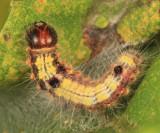 7895 - Sigmoid Prominent - Clostera albosigma (4th instar)