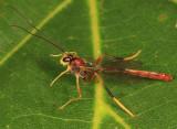 Aphanistes rheumapterae