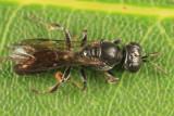 Crossocerus sp.