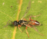 Phygadeuontini (undescribed genus)