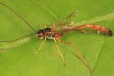 Agrypon prismaticum