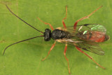 Olesicampe sp.