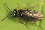 Stethomostus fuliginosus