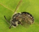 Andrena fragilis