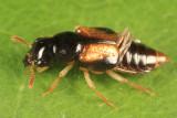 Oxyporus vittatus