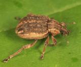 Clover Leaf Weevil - Donus zoilus