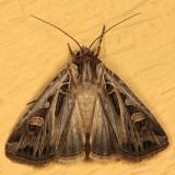 10670 - Dingy Cutworm Moth - Feltia jaculifera