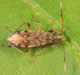 Ligyrocoris diffusus