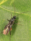 Lytopylus sp.