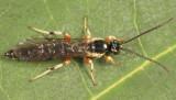 Exochus spilotus