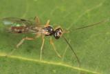 Bathythrix triangularis