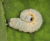 Macremphytus sp.