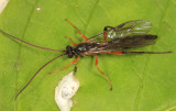 Aoplus velox (male)