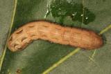 9669 - Yellow-striped Armyworm - Spodoptera ornithogalli