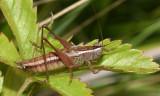 Prairie Meadow Katydid - Conocephalus saltans