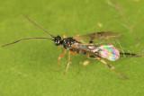 Neothlipsis cincta