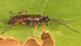 Stenobarichneumon pygmaeops