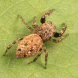 Jumping Spiders - Genus Zygoballus