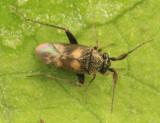 Spanagonicus albofasciatus