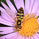 Syrphid Flies - subfamily Syrphinae