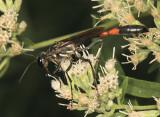 Ammophila procera